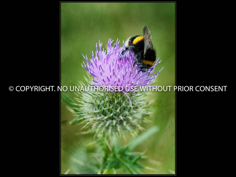 BUMBLE BEE ON THISTLE by tony Crabtree.jpg