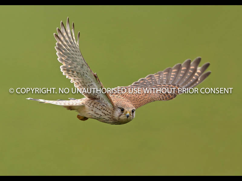 KESTREL by Neil Schofield.jpg