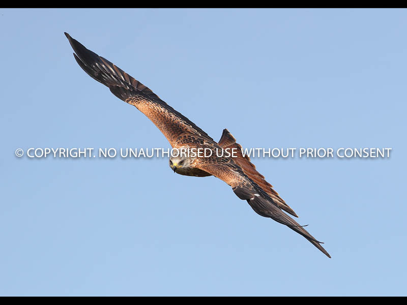 RED KITE by Neil Schofield.jpg