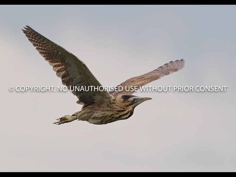 BITTERN IN FLIGHT by Neil Schofield.jpg