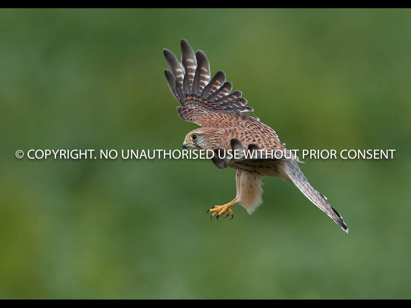 FEMALE KESTREL by Neil Schofield.jpg