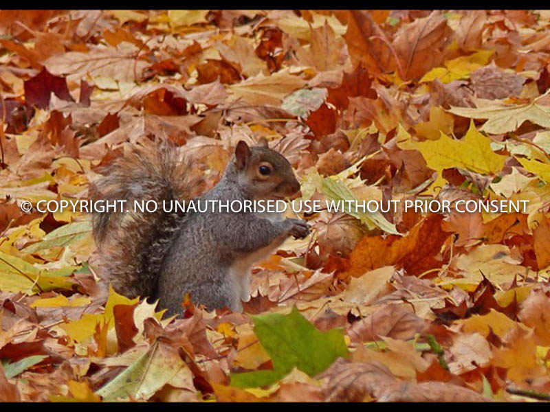 AUTUMN SQUIRREL by Irene Clarke.jpg