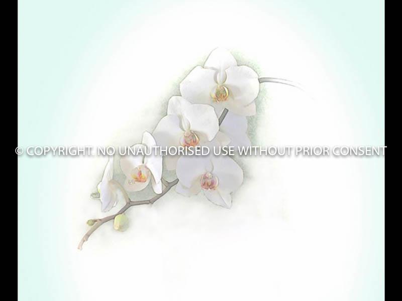 WHITE ORCHID by Irene Clarke.jpg
