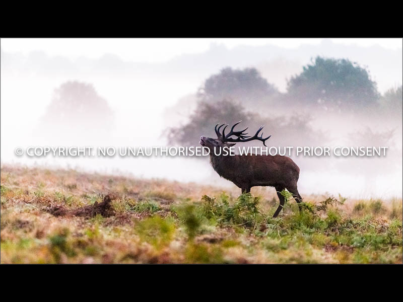 RUTTING STAG by Colin Mill.jpg