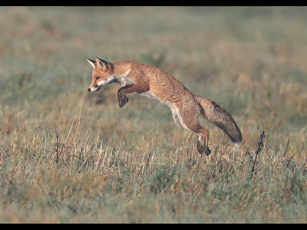 Fox in Flight - By Neil Schofield