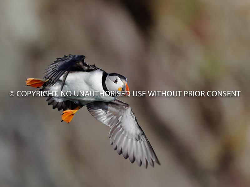 PUFFIN by Linda Sutton.jpg