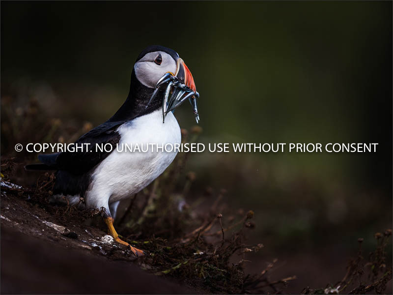 PUFFIN WITH SAND EELS by Colin Mill.jpg