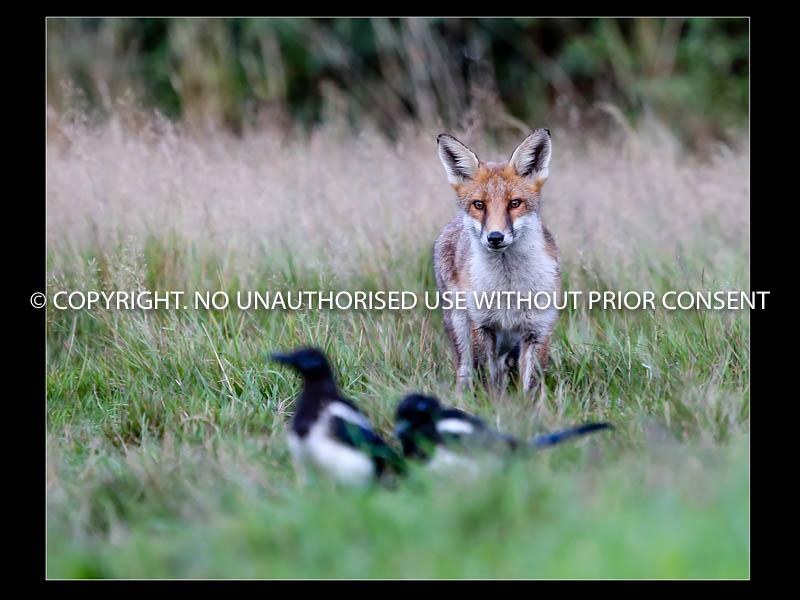 FOX STALKING MAGPIE by Mark  Jones.jpg