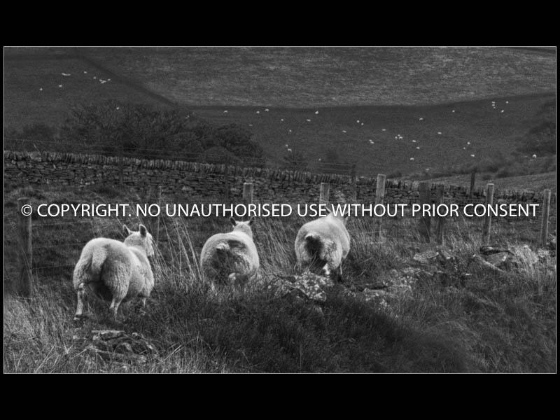 RUNAWAY SHEEP by Ian Mellor.jpg
