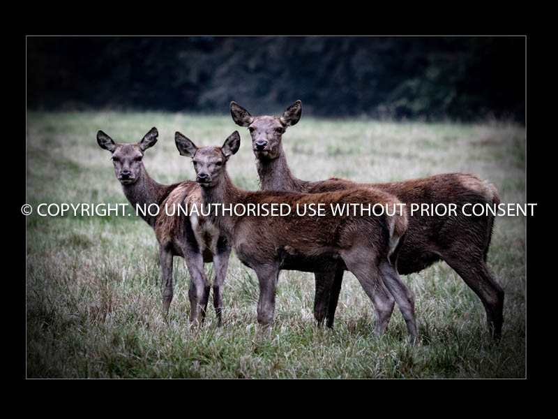 THREE DEER by Mark Jones.jpg