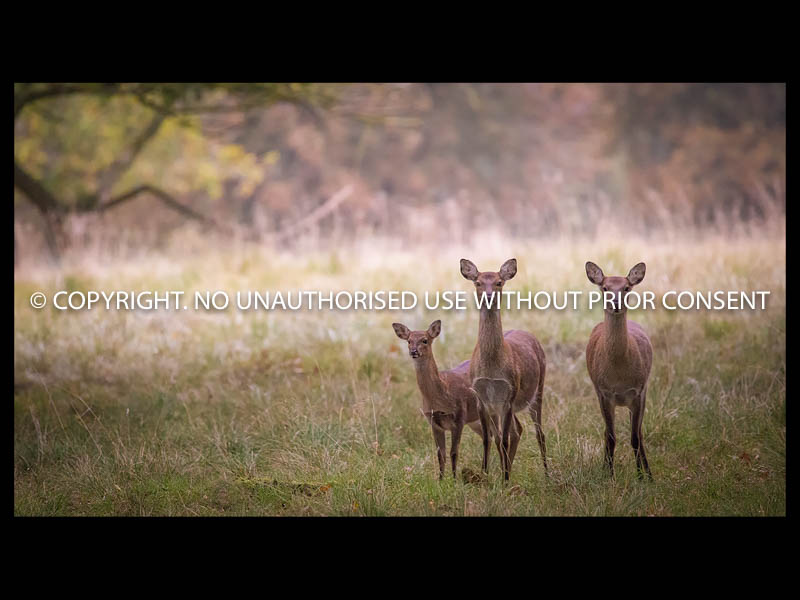THREE LITTLE DEER by Jamie White.jpg