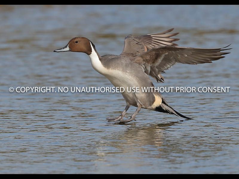 PINTAIL LANDING by Neil  Schofield.jpg