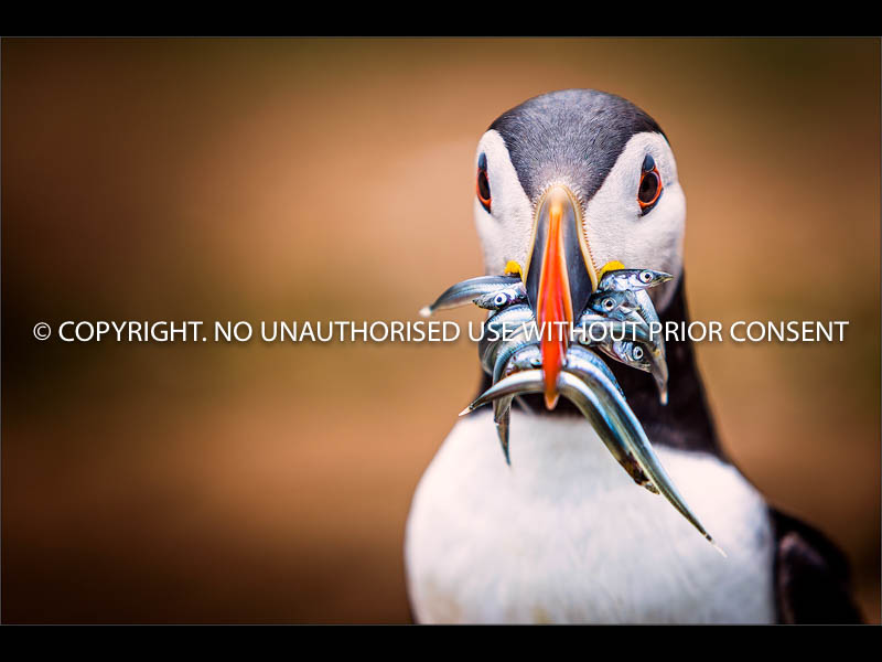 PUFFIN AND BREAKFAST by Colin Mill.jpg