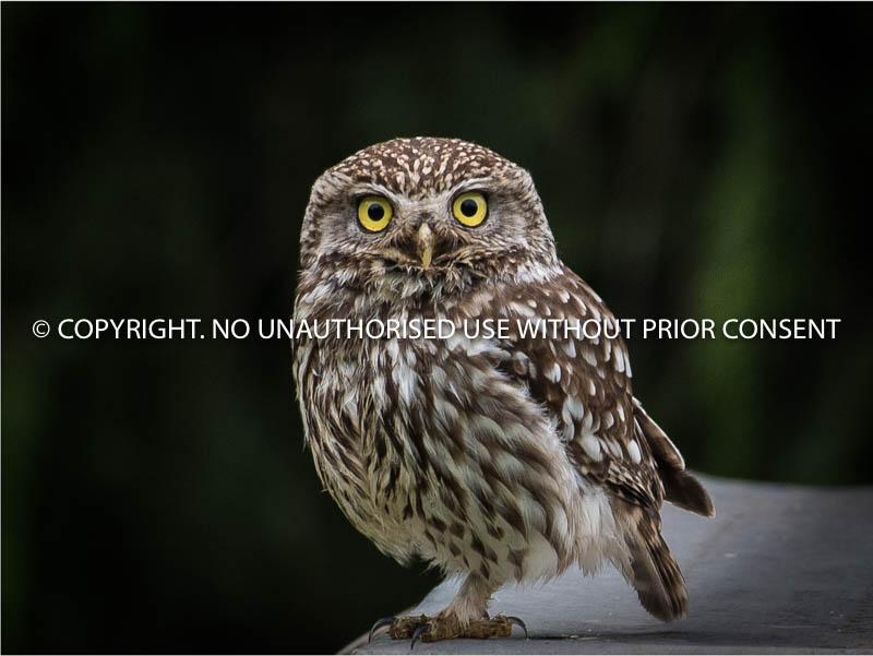LITTLE OWL by Andrew Roch.jpg