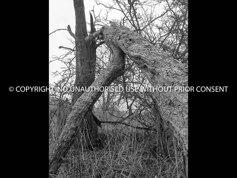 TREE by Peter Westacott.jpg