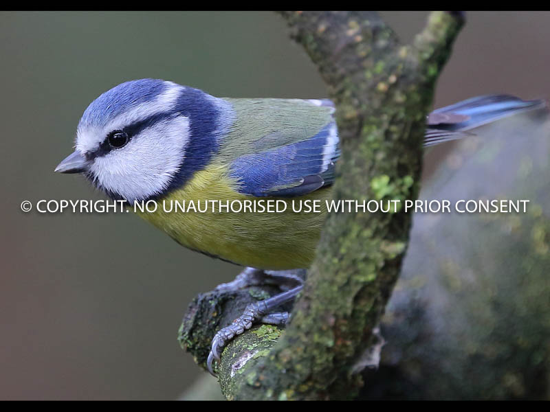 BLUE TIT by Linda Sutton.jpg