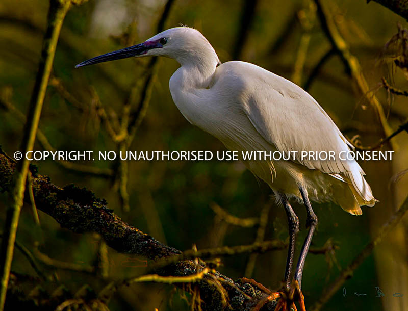 LITTLE EGRET by Dave Mahony.jpg
