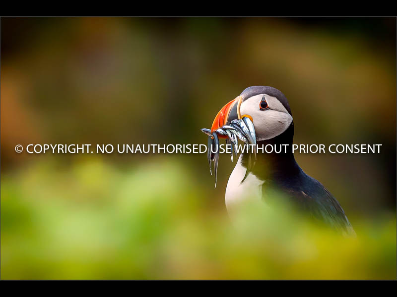 PUFFIN AND SAND EELS by Colin Mill.jpg