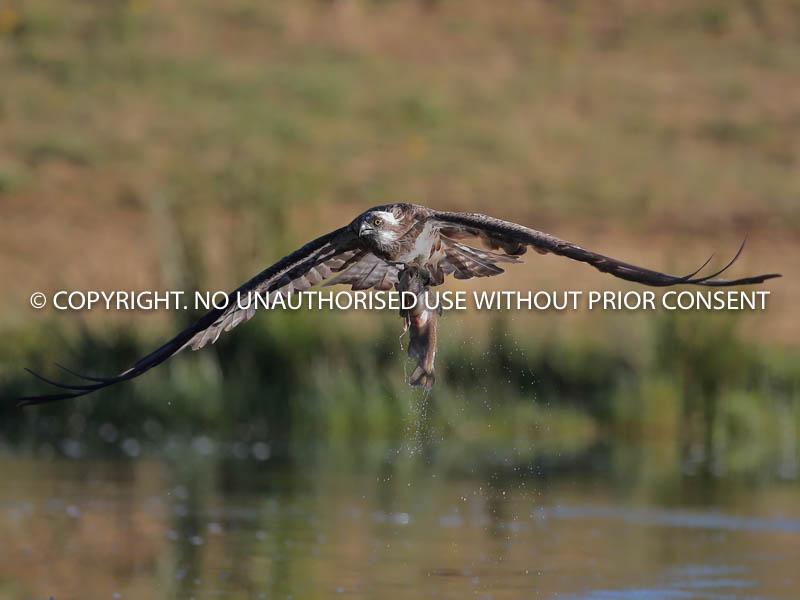 OSPREY WITH CATCH by Linda  Sutton.jpg