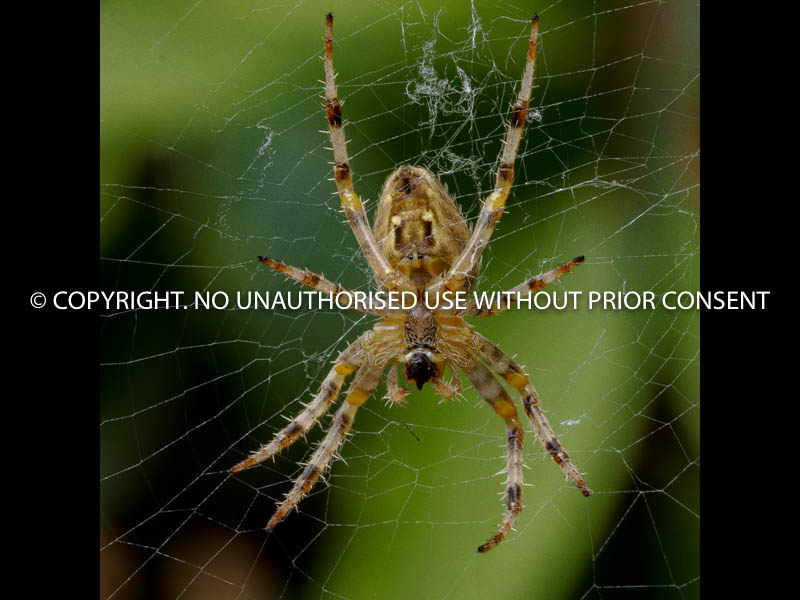 COMMON SPIDER by Clive Williams.jpg