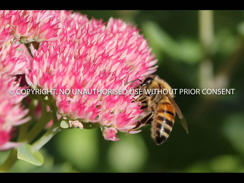 BEE ON SEDUM by Angela McLean.jpg