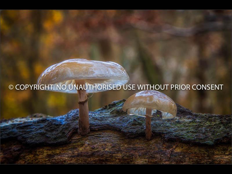 WOODLAND FUNGI by Colin Mill.jpg