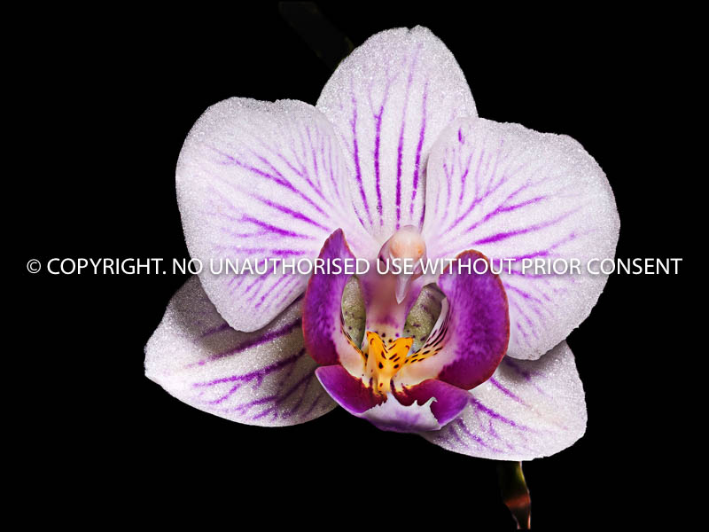 MINIATURE ORCHID by Brian Munday.jpg