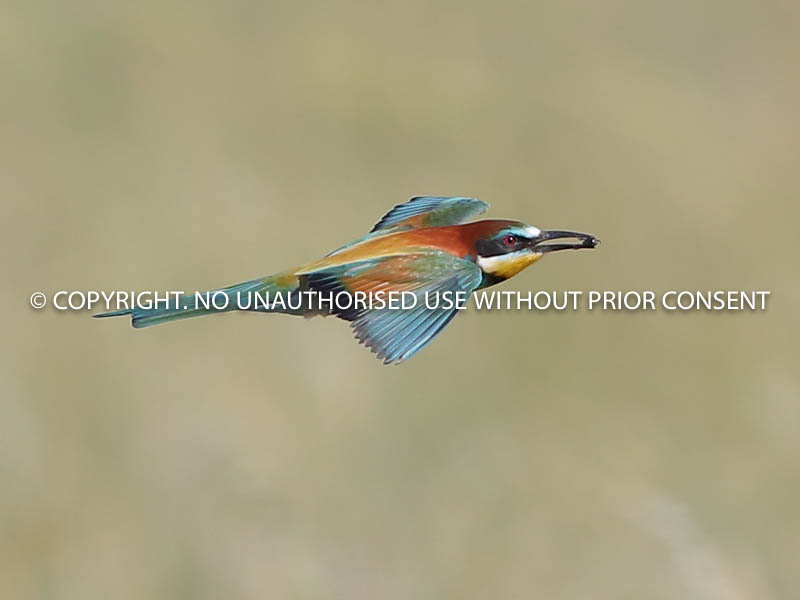 BEE EATER IN FLIGHT by Neil Schofield.jpg