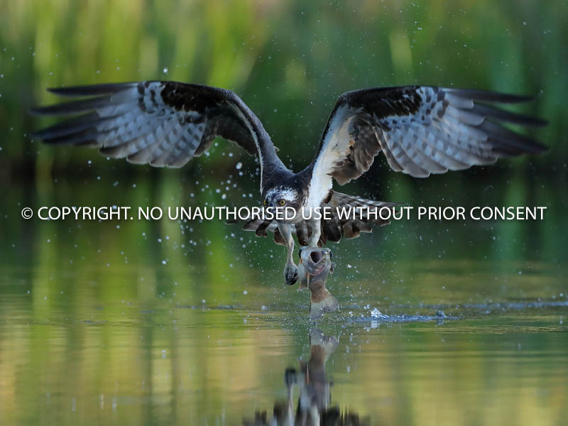 OSPREY WITH CATCH by Neil Schofield.jpg