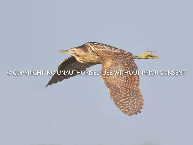BITTERN IN FLIGHT by Linda Sutton.jpg