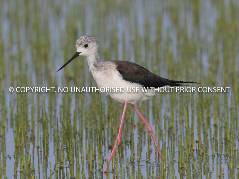 BLACK WINGED STILT by Linda Sutton.jpg