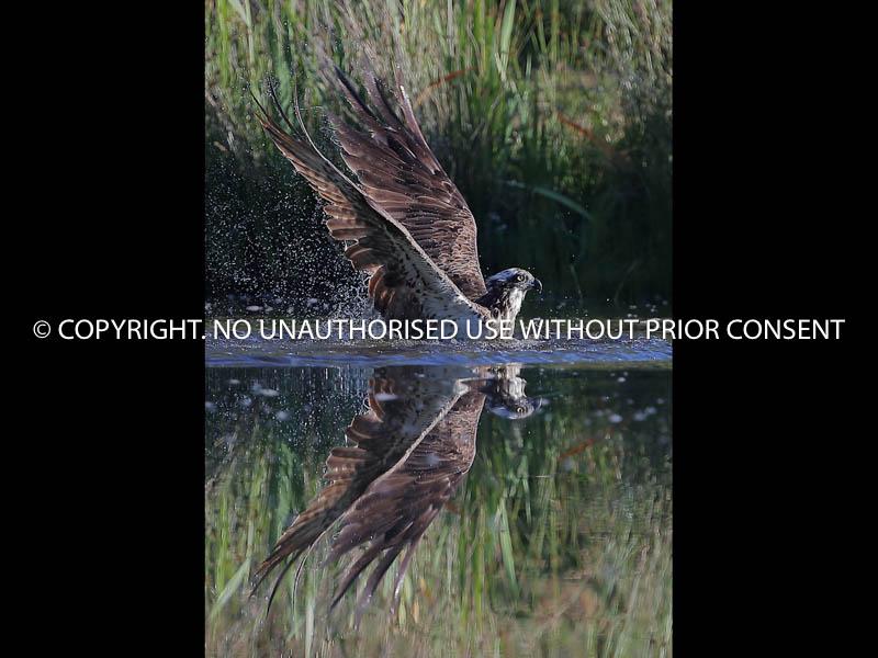 OSPREY REFLECTION by Linda Sutton.jpg