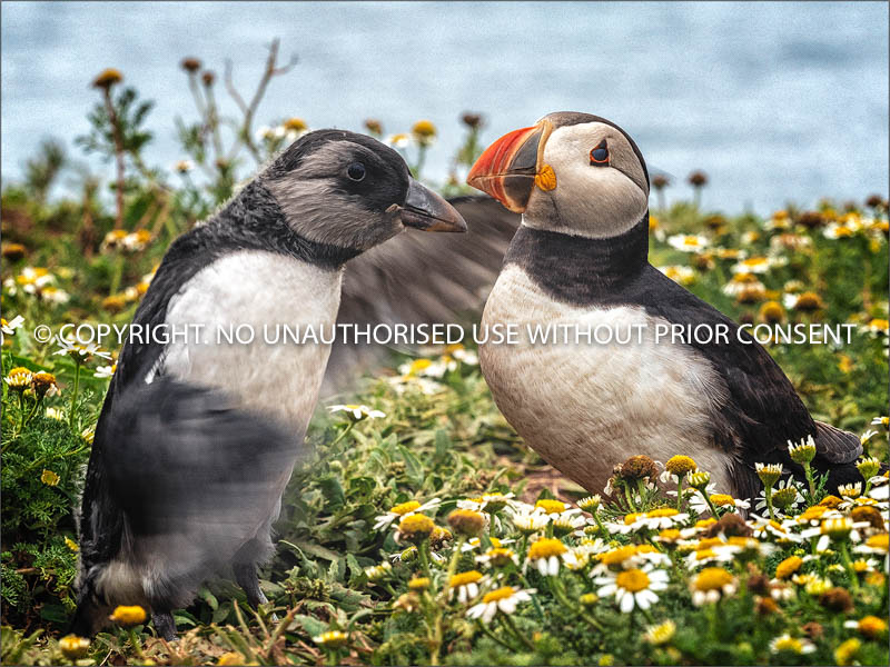 FRATERCULA ARCTICA AND YOUNG by Colin Mill_.jpg