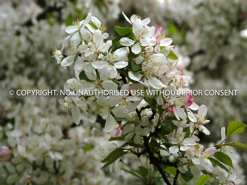 SPRING BLOSSOM by Peter Fortune.jpg