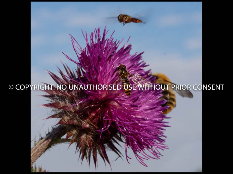 THISTLE & CHUMS by Mike Newman.jpg