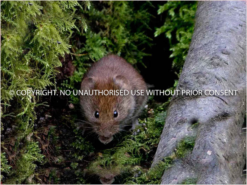 BANK VOLE by Dave Mahony.jpg