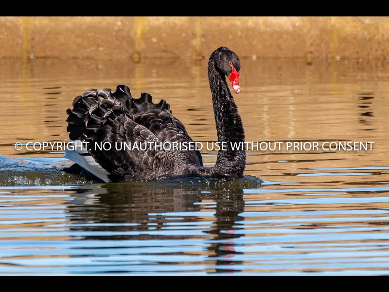 BLACK SWAN by Dave Cooke.jpg