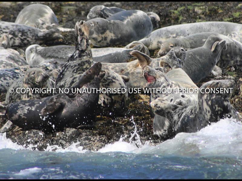 SEALS FIGHTING FARNE ISLANDS by John Warren.jpg