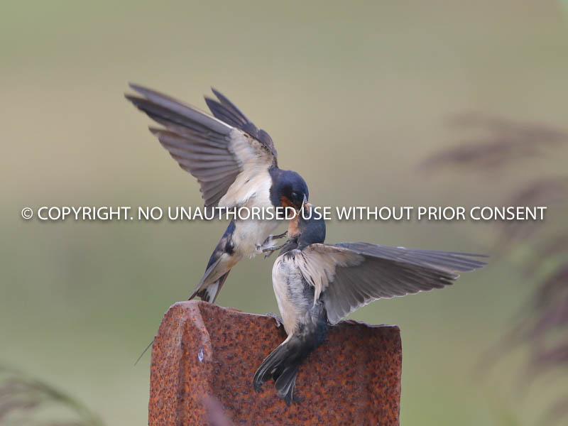 SWALLOW FEEDING YOUNG by Linda Sutton.jpg