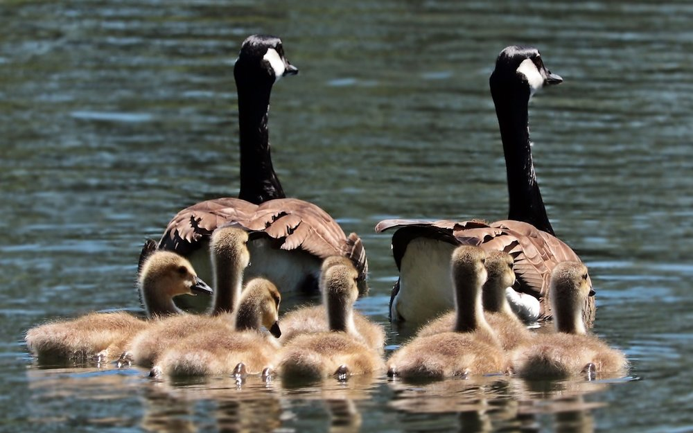 Family-Sharing-geese-photo.jpg