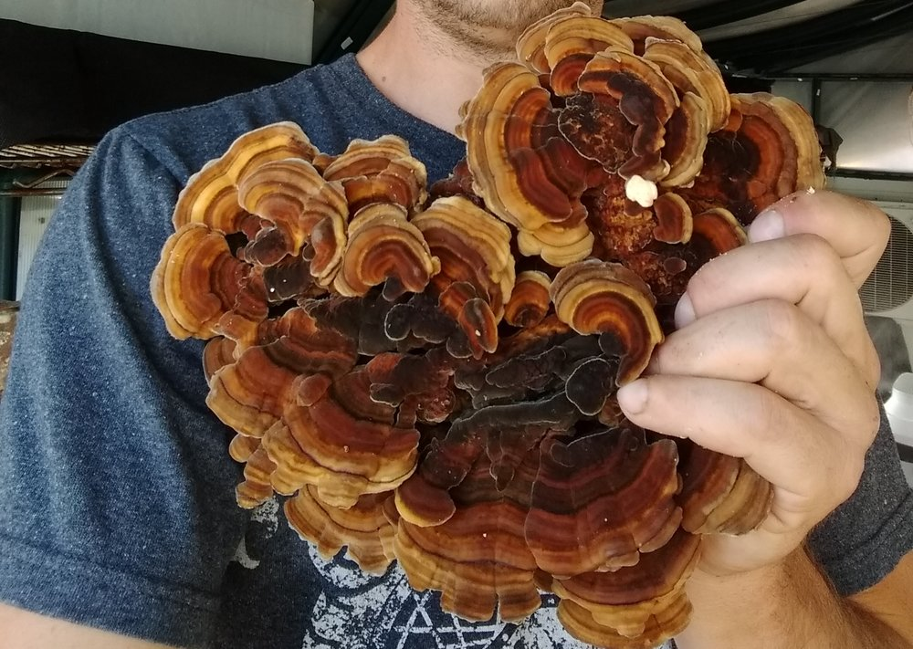 Turkey Tail (Trametes versicolor) - Turkey Tail mushrooms are gaining popularity based on their immune improving studies.ARizona grown on food grade hard wood without chemicals or pesticides.