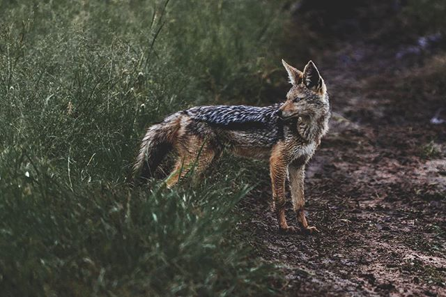 #fbf to our time at the Masai Mara. Found this black-backed jackal on the prowl for his dinner.