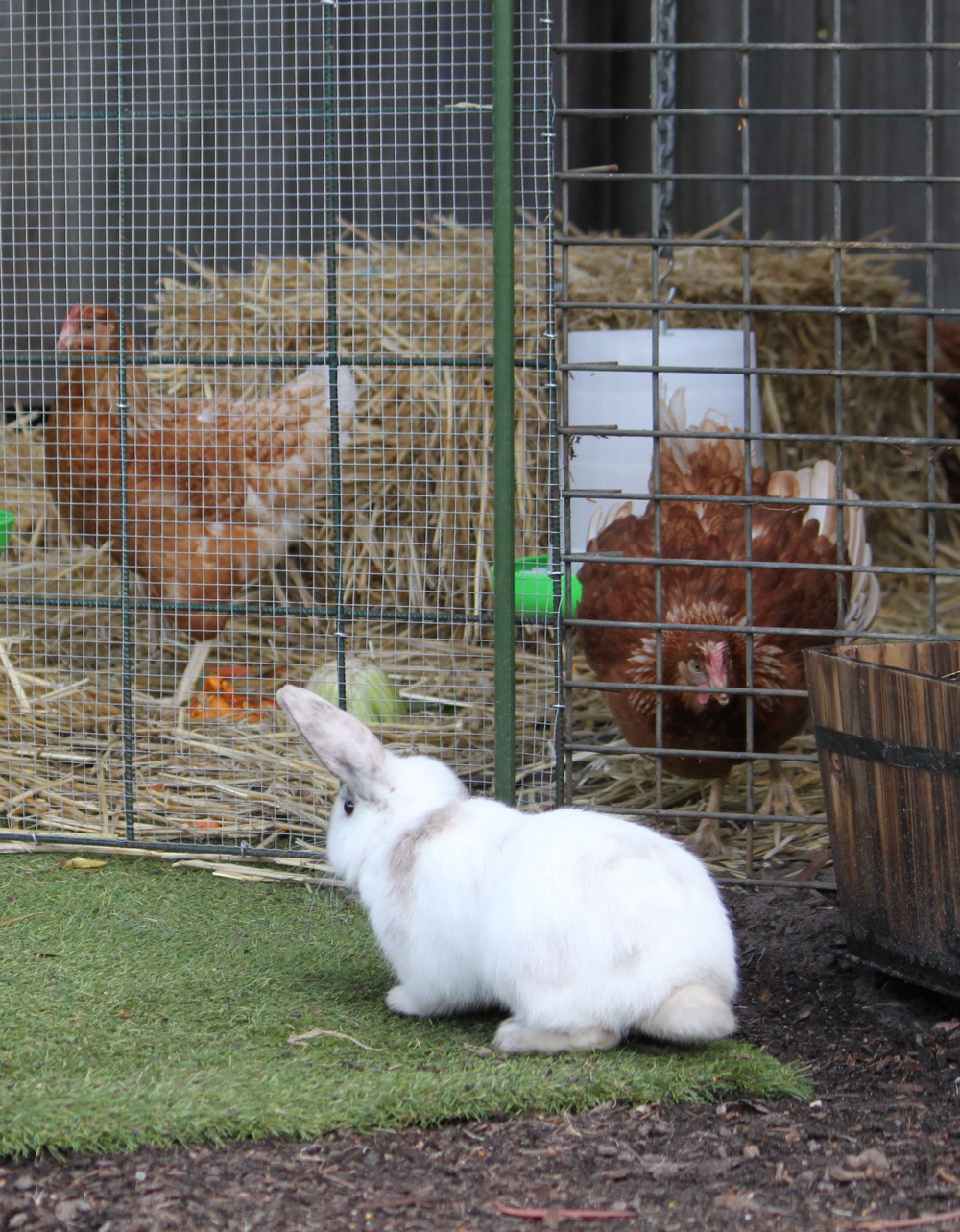 Our bunny meets the chooks for the first time.