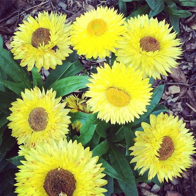 Paper daisies. #winter #sun #bright #colour #floral #petals #follow @ponyandbear