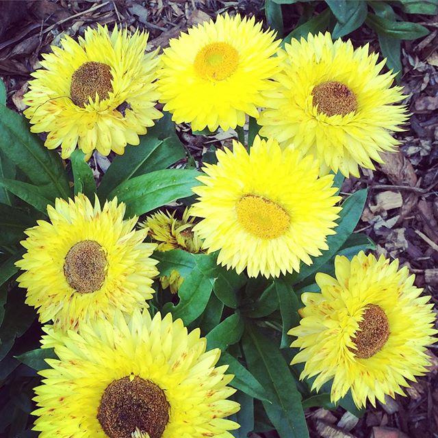 Paper daisies. #winter #sun #bright #colour #floral #petals #follow @ponyandbear