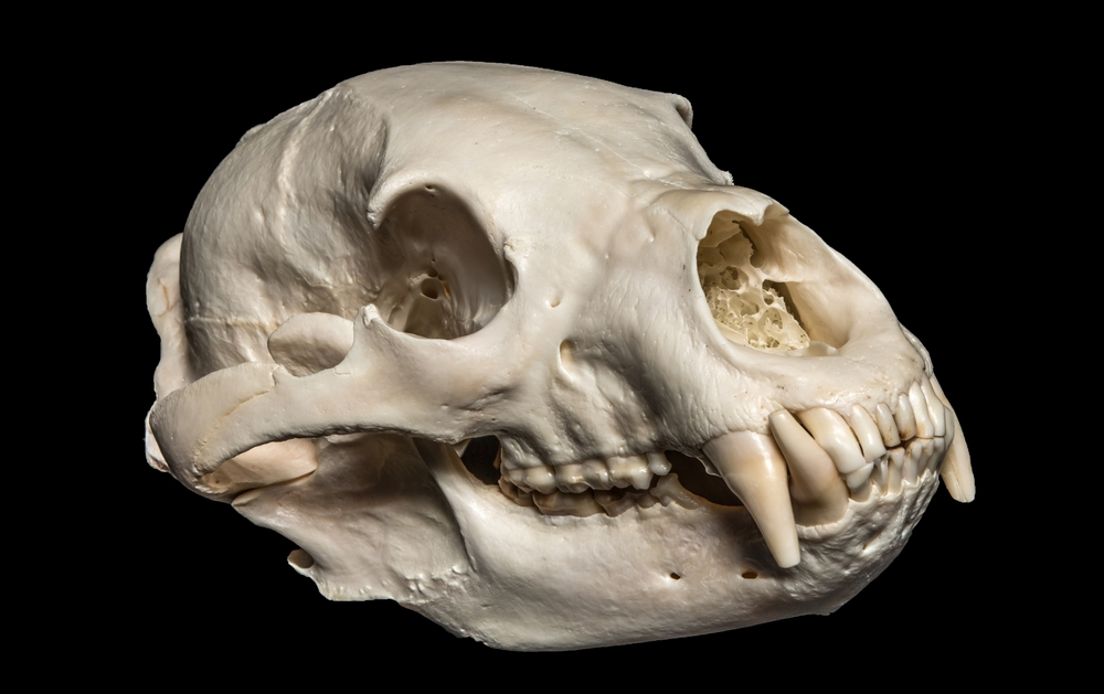 Beautiful display skull of a medium size black bear.