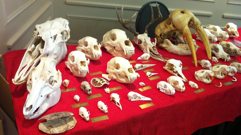 My display table for the presentation at the Science Teachers Association of Ontario in the fall of 2014. All of my specimens are from my own personal hobbyist collection and I have taken great care to use the most effective processes to keep all aspects of the animal skulls intact.
