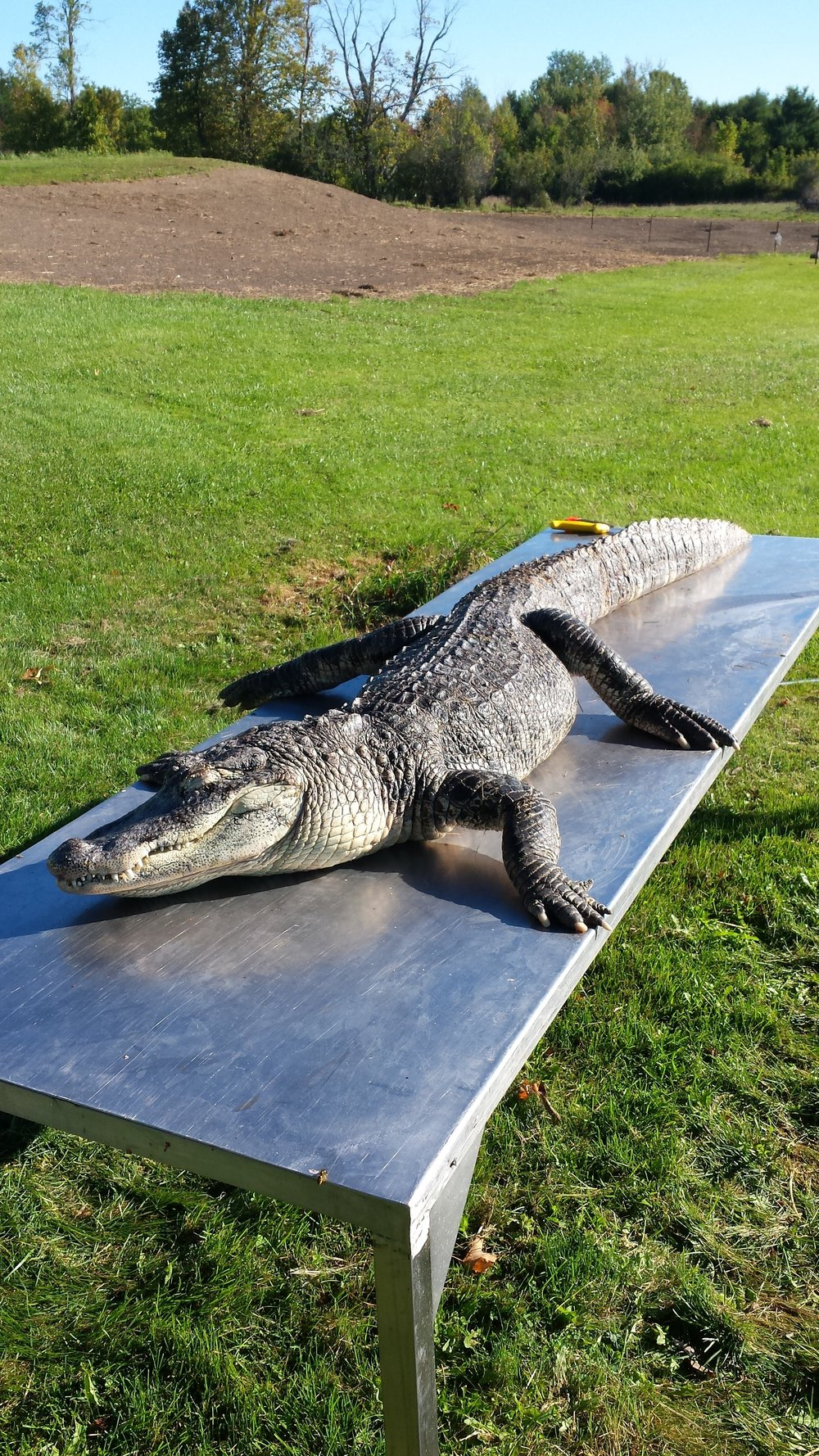 Razor the american alligator was 7 feet long and will be a great addition to my reptile examples.