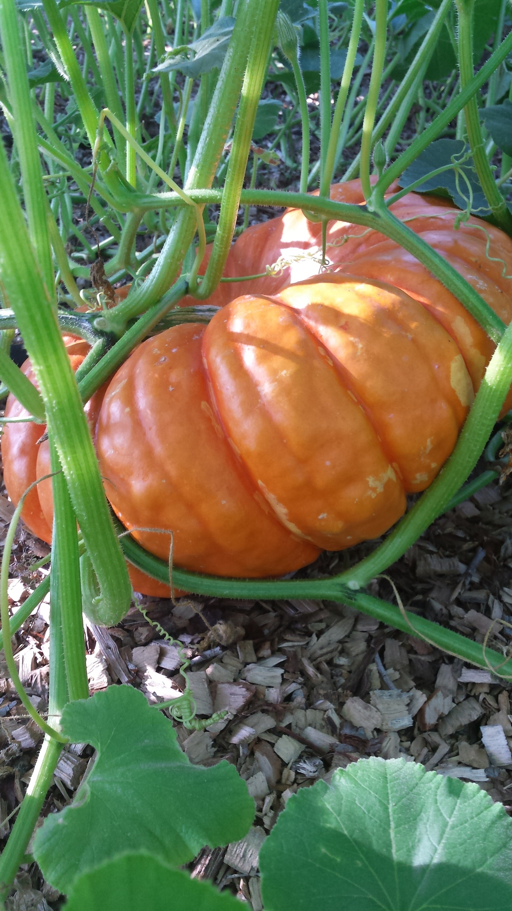 One of our french baking pumpkins at the neighbor garden