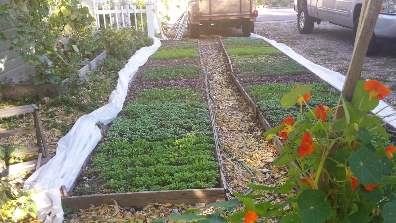 Winter greens in October - off to a good start (before the deep freeze in November)